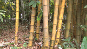 Picture of Bamboo